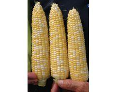 Delectable (SE corn, hybrid, bicolor)