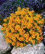 Tangerine Gem (Marigold/mini)