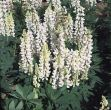 Gallery™ White (Lupins)