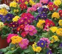 Supernova™ Mix (Polyanthus)