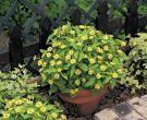 Lemon Delight™ (African Zinnia/melampodium)