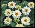 Profusion Double White (Zinnia)