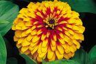 Swizzle Scarlet/Yellow (Zinnia)