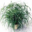Wild Spike (Cyperus)
