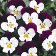 Penny™ White Jump Up (Viola)