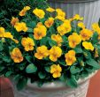 Penny™ Yellow (Viola)