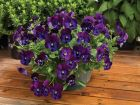 Wonderfall Purple/Blue Shades (Pansy)