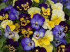Colormax Lemonberry Pie Mix (Viola/primed)