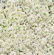 Wonderland White (Alyssum)