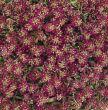 Easter Bonnet Deep Rose (Alyssum)