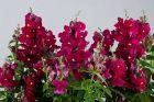 Floral Showers Purple (Snapdragon/dwarf)