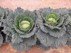 Serpentine (Cabbage/savoy)