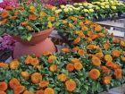 Bon Bon Orange (Calendula)