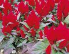 Kimono Red (Celosia/plumosa)
