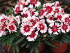 Super Parfait Red Peppermint (Dianthus)