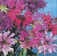 Panorama Mix (Monarda/Bee Balm)