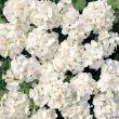 Multibloom White (Geranium)