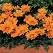 Kiss Orange (Gazania)