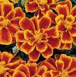 Durango Flame (Marigold/French)
