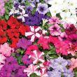 TriTunia Mix (Petunia/grandiflora/pelleted)