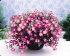 Opera Supreme Pink Morn (Petunia/multiflora/pelleted)