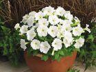 Picobella™ White (Petunia/pelleted/milliflora)