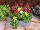 Candy Tops Mix (Snapdragon/Trailing/Pelleted)