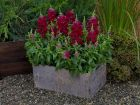Candy Tops Red (Snapdragon/Trailing/Pelleted)