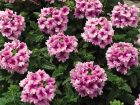 Tuscany Orchid Frost (Verbena/primed)