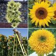 Majestic Sunflower Special Collection
