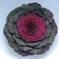 Pigeon Purple (Flowering Kale)