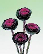 Crane™ Red (Flowering Kale)