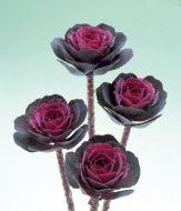 Crane™ Rose (Flowering Kale)