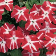Accent Red Star (Impatiens)