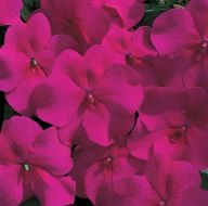 Accent Burgundy (Impatiens)