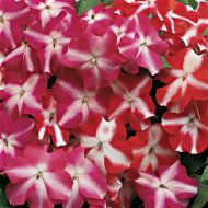 Accent Star Mix (Impatiens)