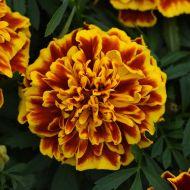 Bonanza Bee (Marigold/French)