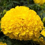 Big Top Yellow (Marigold/African)