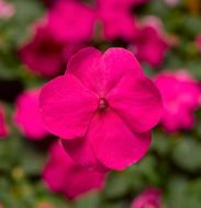 Xtreme Bright Rose (Impatiens)