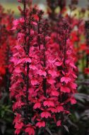 Starship™ Deep Rose (Lobelia Pellets)