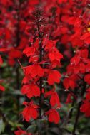 Starship™ Scarlet (Lobelia Pellets)