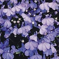 Cambridge Blue (Lobelia)