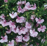 Riviera Lilac (Lobelia multi-pellet)