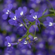 Cobalt Blue (Lobelia)