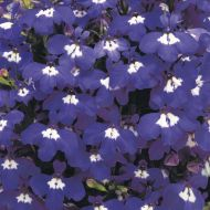 Riviera Blue Eyes (Lobelia multi-pellets)