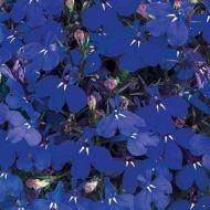 Riviera Marine Blue (Lobelia multi-pellets)