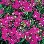 Riviera Rose (Lobelia multi-pellets)