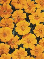 Disco Orange (Marigold/French)
