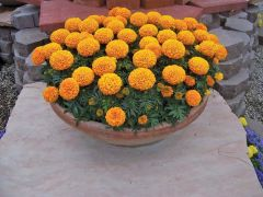Discovery Orange (Marigold/African)