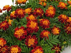 Super Hero Orange Bee (Marigold/French)